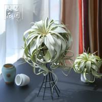 净化空气室内绿植盆栽花卉无土植物霸王进口稀有空气凤梨