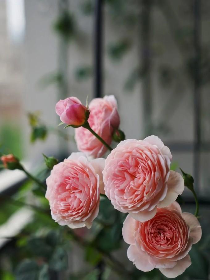 她用1年打造仙女风花园,20㎡南北阳台100多盆花,四季都有花开